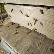ミツバチ越冬隊、初飛行~♪