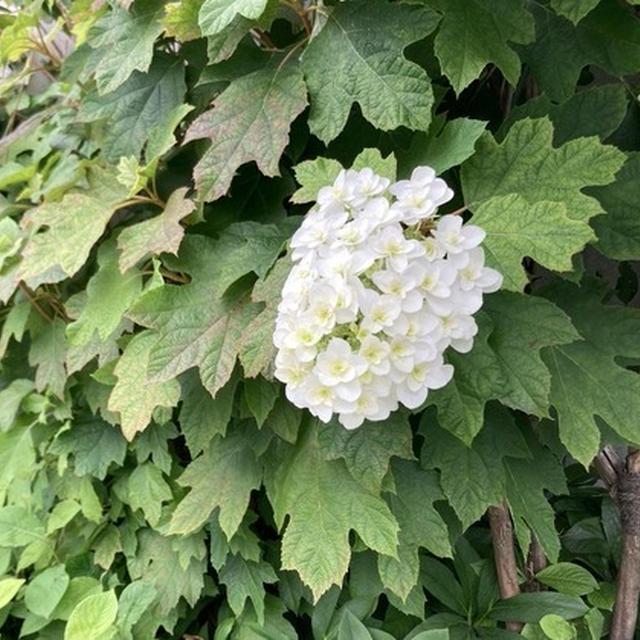 紫陽花は一朶(いちだ)と数えます。