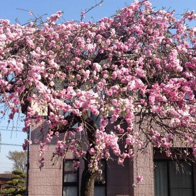 今年の桜と新たなページ
