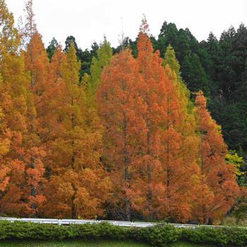 晩秋の房総 亀山湖(君津市)の紅葉スポットを紹介します(2020/11/19撮影)