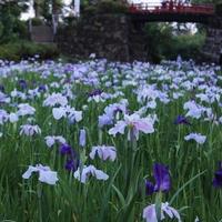 小田原城の紫陽花と花菖蒲