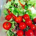 熊本産!真っ赤なプチトマトとサニーレタスのサラダ