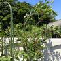 プランター菜園(5月下旬)☆一番果の収穫!