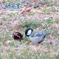 野鳥記録 4 / 2021年3月20日 シジュウカラ (群馬県)