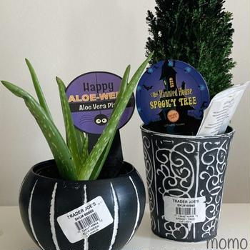 Trader Joe's The Haunted House Spooky Tree and Happy Aloe-Ween Aloe Vera Plant トレーダージョーズのハロウィン アロエとミニチュアツリー
