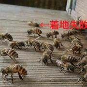 初めての養蜂:初飛行の様子と暑さ対策。