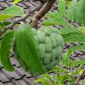 マンゴー収穫!Mango yey!!