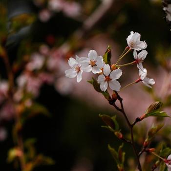 高壇神社の桜