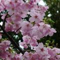 数日前に開花宣言もでて、来週あたりに桜、お花見の時の桜の代表格のソメイヨシノが満開になりそうですが、早咲きの桜たちなども色々と咲いていて、人々の目を楽しませてくれていますね~♪