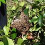 梅干しの土用干しと爺さんちの庭仕事