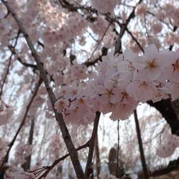2014年 桜の旅