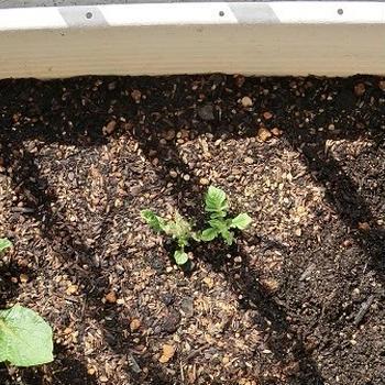 じゃがいもプランター栽培記録 3 ~秋植えアンデス赤~ イヤな予感的中。種芋腐敗