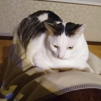 癒やしのにゃんこ 珍しい!膝に乗ってきた。嬉しくて動けない。重い… #猫すきな人と繋が...