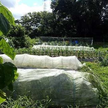 第2弾キュウリ&トマトの1番果収穫☆葉山農園(7月中旬)