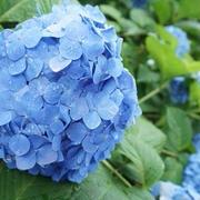 雨あがりの紫陽花と