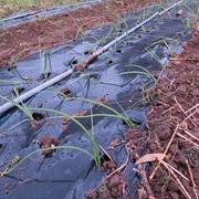 玉ねぎの苗を植えました♪
