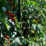 ■我が家のプランター菜園のご紹介です。