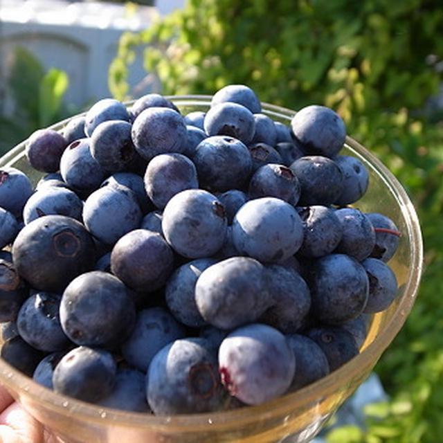 8月のブルーベリー・ブラックベリー収穫と剪定☆