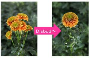 1本にたくさんの花をつける「スプレーマム」(画像左)。このスプレーマムの脇芽を取り除きながら頂点の花...