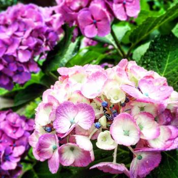 雨に打たれた紫陽花