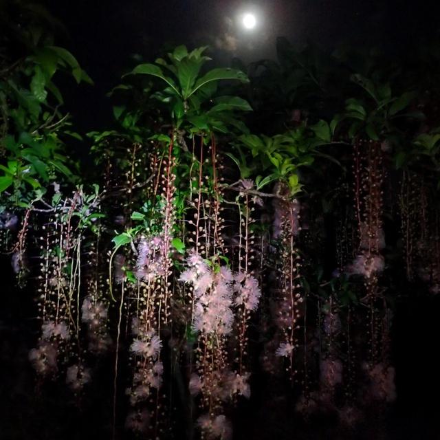 夜に咲くサガリバナの美しさ!