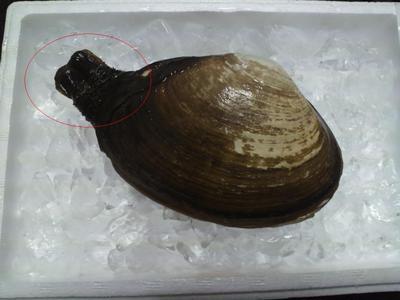 高級寿司種です。 『本ミル貝のお刺身』