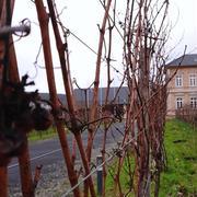 葡萄の選定とお散歩