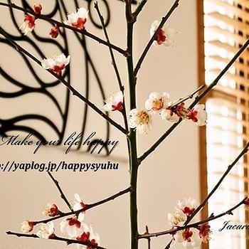 春の訪れ☆満開の梅の花の香りを楽しむ&ポチ報告