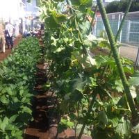 【週末農業(市民農園)】第十三回 誘引、わき芽取り、そして収穫祭!