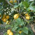 どこまでレモンの収穫が出来るか、、、、、、、
