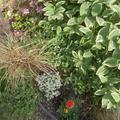 庭の植え替え、クレオメとユーフォルビアとマリーゴールド