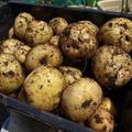 春ジャガイモ☆収穫時期の目安と収穫後の保存