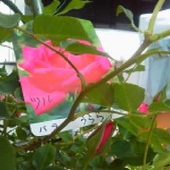 九州バラ祭り
