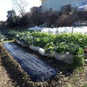 芽キャベツ大失敗☆葉山野菜栽培記(1月中旬)
