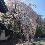 京(今日)の桜 開花情報♪2018