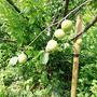 6月4日。梅の季節〜♪
