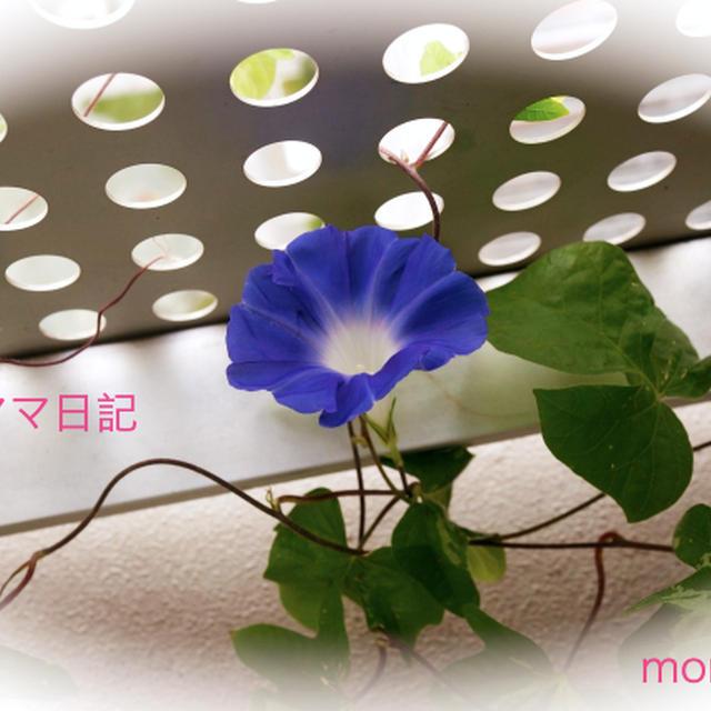 「朝顔」が咲きました〜♪