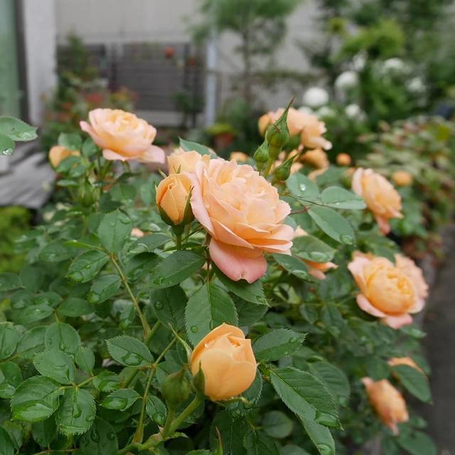 スイートドリーム返り咲き2021初夏