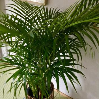 大きすぎた観葉植物