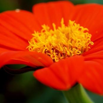 ■Myプランター園芸【魅惑の花 チトニア】