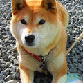 柴犬クッキーさん