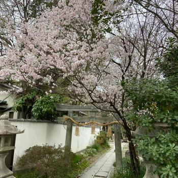 京都の桜2021 京都御苑の早咲き桜
