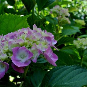紫陽花が咲き出す頃は・・・・・