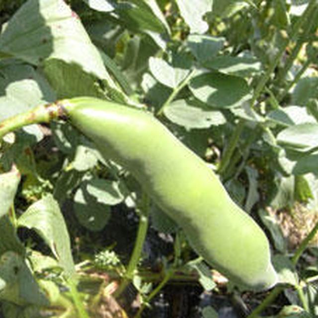 ソラマメの収穫とイシナギ料理、再び。