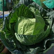 春野菜の準備☆キャベツの種まき苗づくり