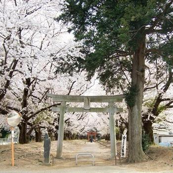 今年の桜 (2019) 東蕗田天満社