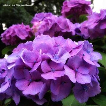 道ばたの紫陽花