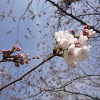 お花見三昧