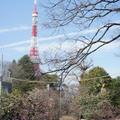 【芝公園(東京都港区)梅が咲いていました】