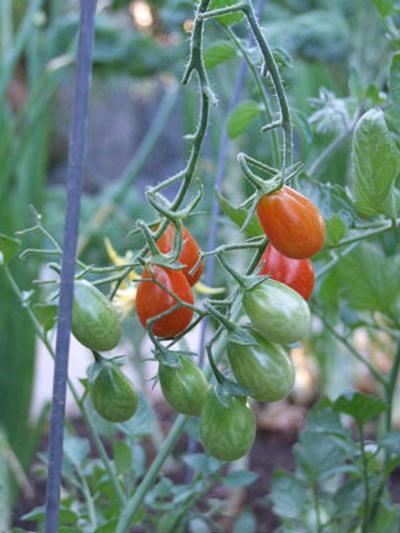家庭菜園 今年のヒット野菜はグレープトマト